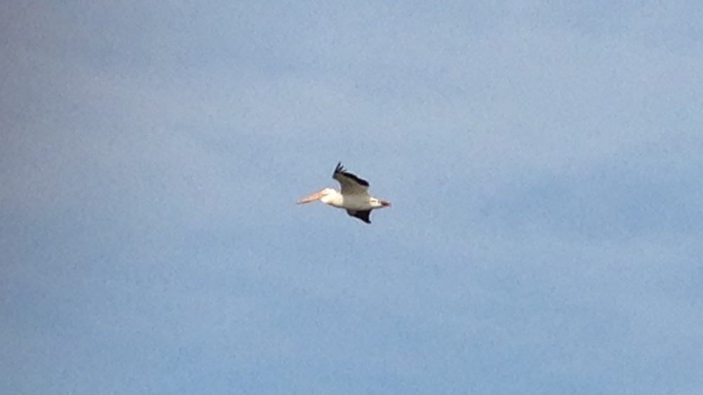 If you've never seen a pelican soar above you, the wingspan is quite impressive. About five feet in length.